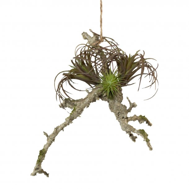 Sukkulenter på gren