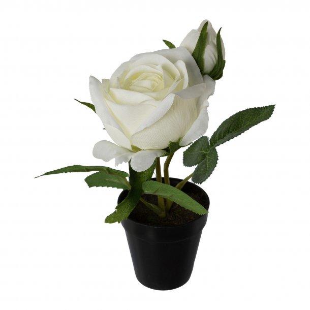 Rose hvid i Potte