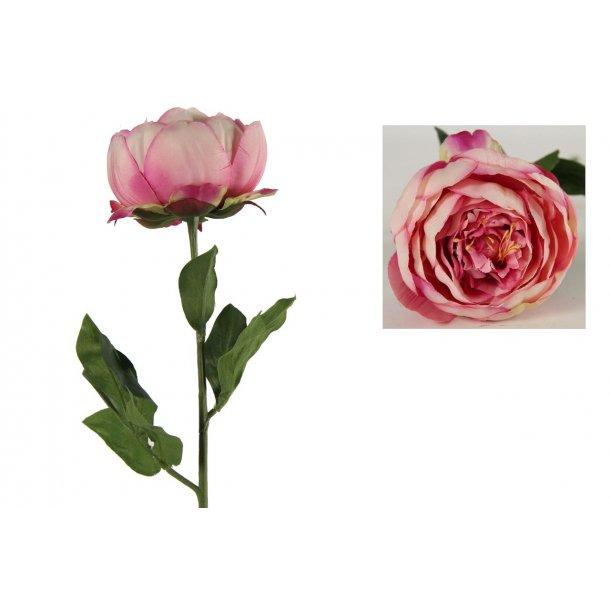 Bonderose rosa