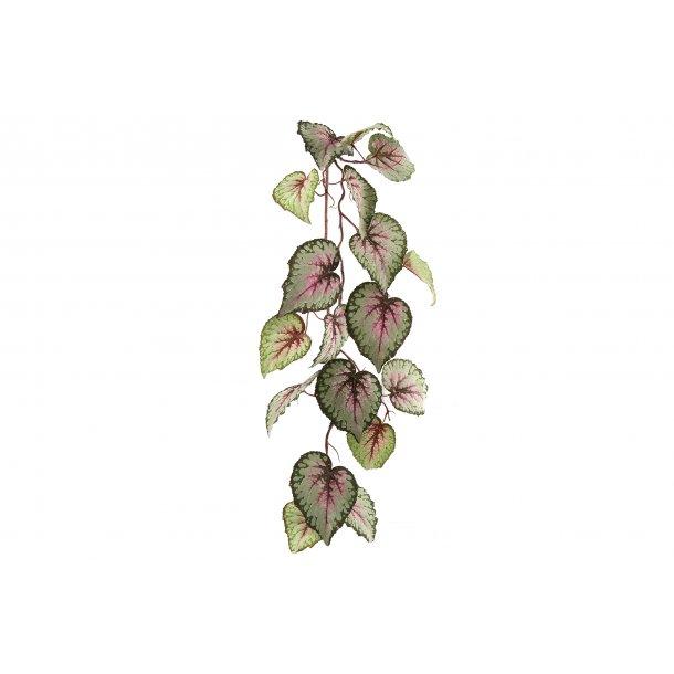 Begonia ranke