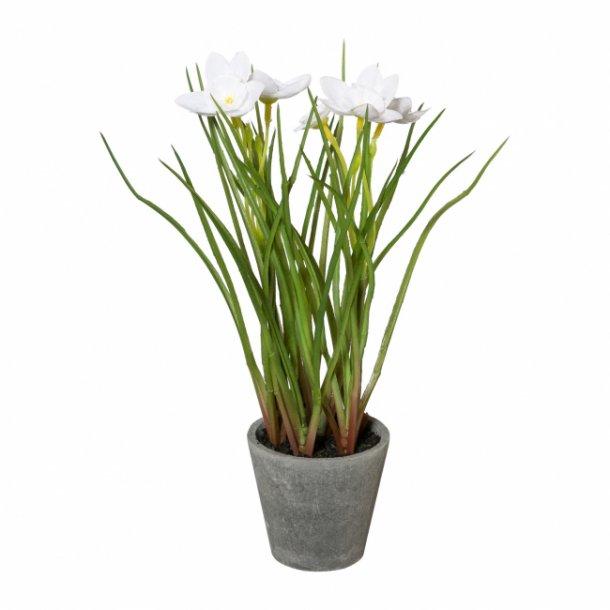 Løg plante i potte